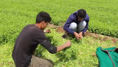 Photo of درنة الأشهر في زراعة (الخضروات الرقيقة) شرق ليبيا