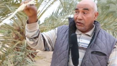 Photo of نهاية موسم تلقيح النخيل في بلدية إجخرة