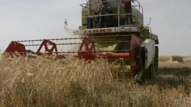 Photo of تواصل موسم حصاد محاصيل القمح والشعير
