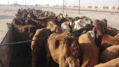 Photo of الشرطة الزراعية الواحات تضبط شاحنة على متنها أغنام قادمة من دولة السودان